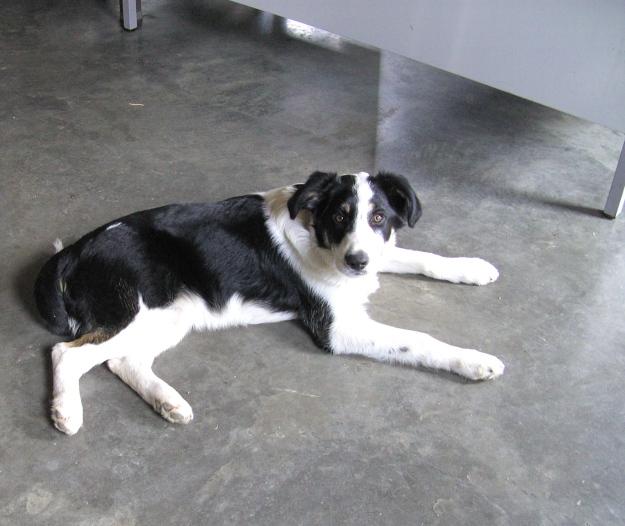 Goffy, border collie , 4 mois et demi