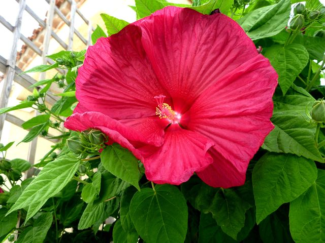 hibiscus moscheutos ou Hibiscus des marais