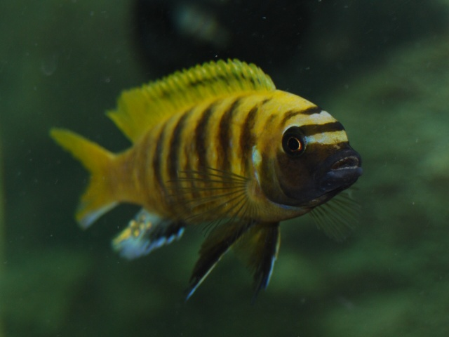 Sp- 44 Cichlid Related Keywords & Suggestions - Sp- 44 Cichlid Long ...