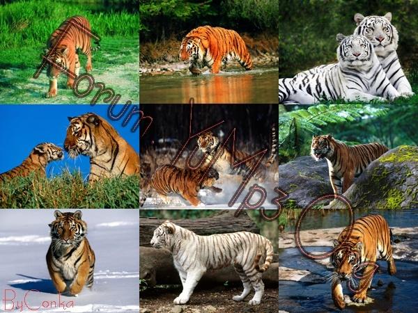 mac wallpaper tiger_10. mac wallpaper tiger_10.