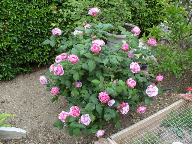 Petit album de roses - Bouturer un rosier ancien ...