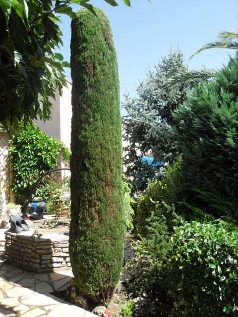 Le cypr s de florence - Comment tailler des cypres ...
