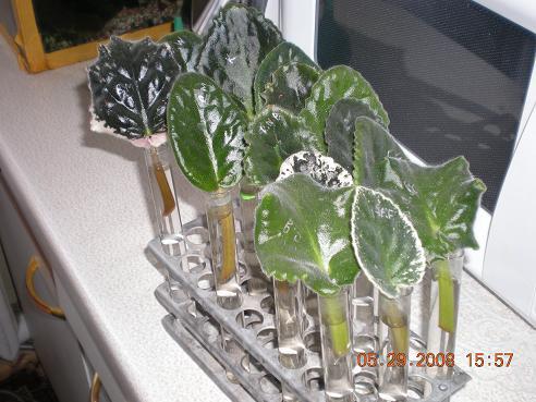 Эустома выращивание из черенков 91