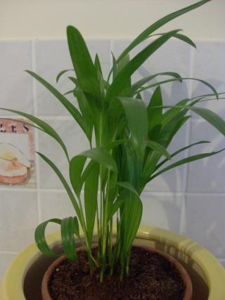 Areca ou chamaedorea for Plante kentia