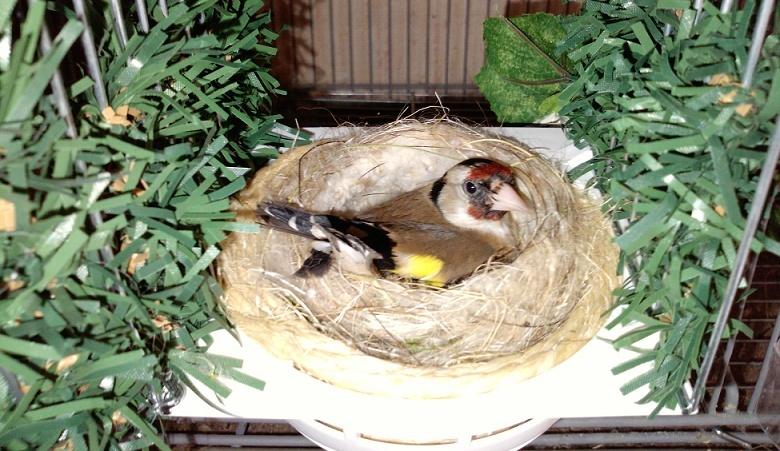 Le repère Chardonnerets et linottes mélodieuses  : élevage, chant et hybridation