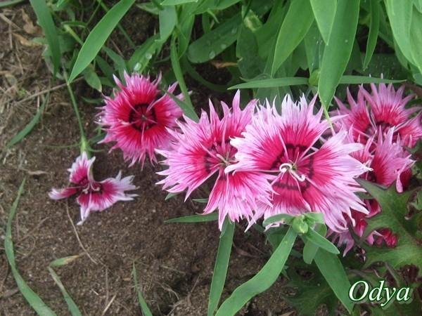 Oeillet de chine dianthus sinensis - Oeillet de chine ...