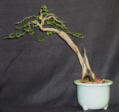 kumquat as bonsai?, Beautiful flower