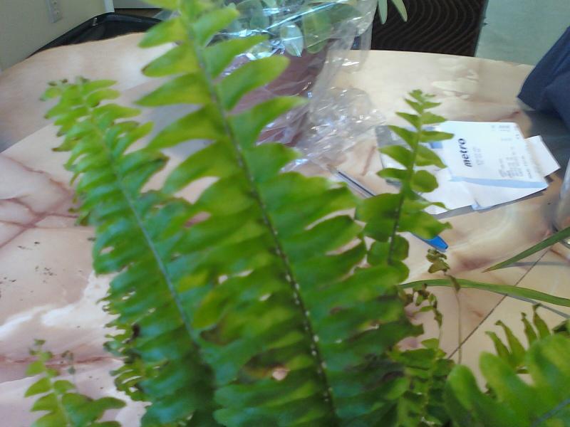 Plantes pour terrarium tropical - Fougere de boston depolluante ...