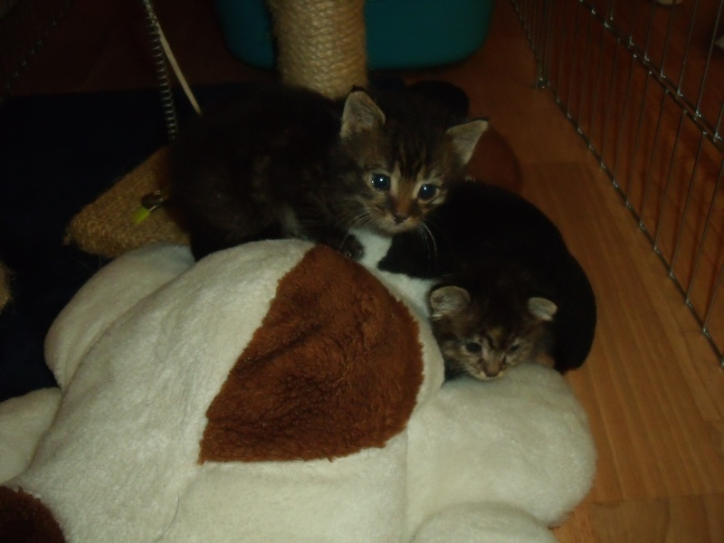 Petit chaton de 2 mois ok tout a adopter 57 - Couper les griffes d un chaton de 2 mois ...