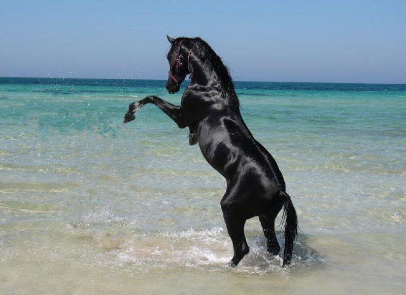 Indigo cheval sauvage - Dessin de chevaux sauvage ...