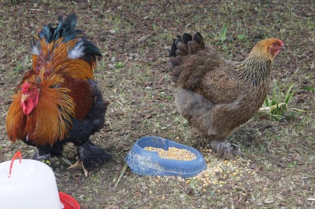 poule brahma perdrix maille