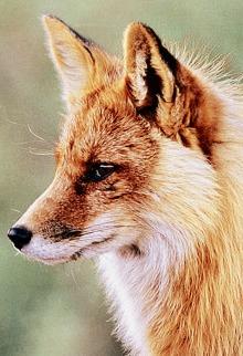 Avatar de Foxy