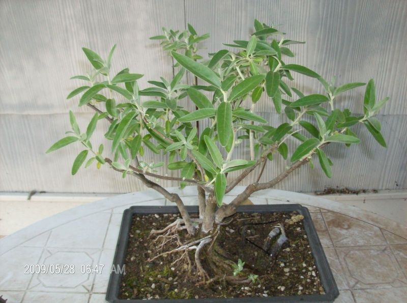 Identifying olive trees for How to make an olive tree into a bonsai