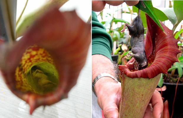 plante carnivore qui mange une souris