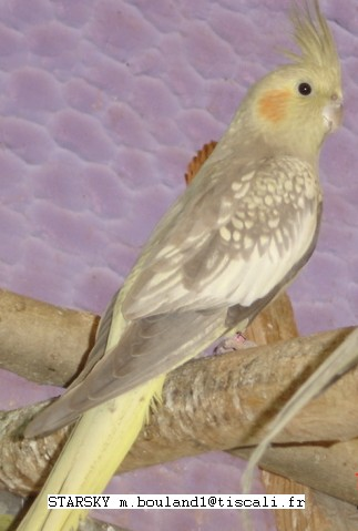 Calopsitte opaline femelle qui perd son dessin - Dessin calopsitte ...
